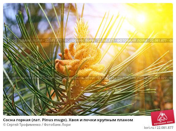 Купить «Сосна горная (лат. Pinus mugo). Хвоя и почки крупным планом», фото № 22081877, снято 7 июня 2015 г. (c) Сергей Трофименко / Фотобанк Лори