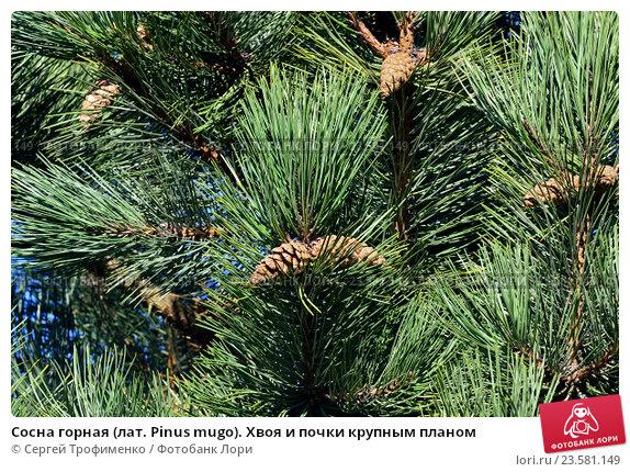 Купить «Сосна горная (лат. Pinus mugo). Хвоя и почки крупным планом», фото № 23581149, снято 14 апреля 2016 г. (c) Сергей Трофименко / Фотобанк Лори
