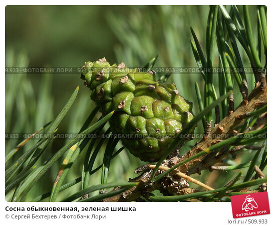 Купить «Сосна обыкновенная, зеленая шишка», фото № 509933, снято 4 сентября 2004 г. (c) Сергей Бехтерев / Фотобанк Лори