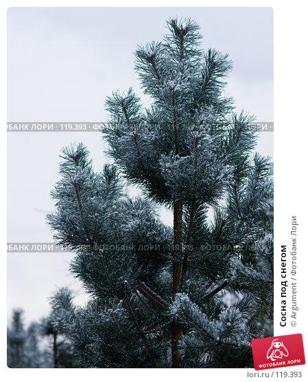 Сосна под снегом, фото № 119393, снято 16 ноября 2007 г. (c) Argument / Фотобанк Лори