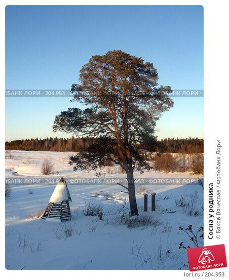 Сосна у родника, фото № 204953, снято 2 января 2008 г. (c) Бяков Вячеслав / Фотобанк Лори