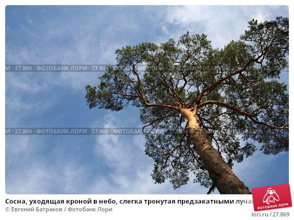 Сосна, уходящая кроной в небо, слегка тронутая предзакатными лучами..., фото № 27869, снято 5 августа 2006 г. (c) Евгений Батраков / Фотобанк Лори