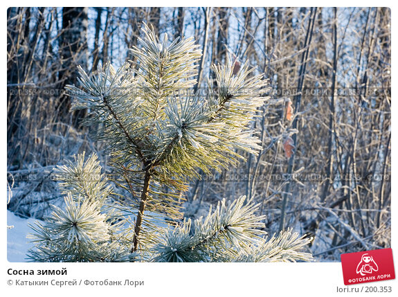 Сосна зимой, фото № 200353, снято 6 января 2008 г. (c) Катыкин Сергей / Фотобанк Лори