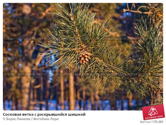 Сосновая ветка с раскрывшейся шишкой, фото № 170381, снято 31 декабря 2007 г. (c) Борис Панасюк / Фотобанк Лори