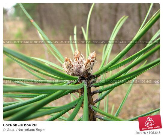 Сосновые почки, фото № 106645, снято 31 марта 2007 г. (c) Иван / Фотобанк Лори