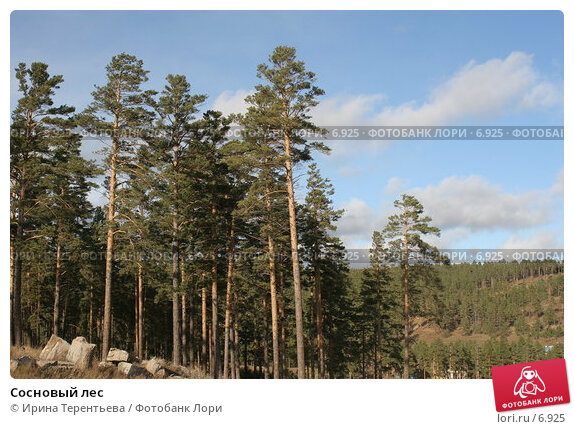 Сосновый лес, эксклюзивное фото № 6925, снято 27 сентября 2005 г. (c) Ирина Терентьева / Фотобанк Лори