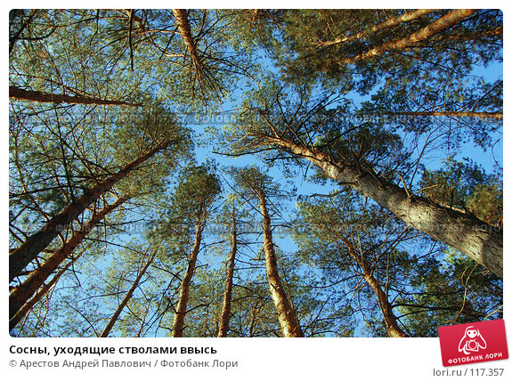 Сосны, уходящие стволами ввысь, фото № 117357, снято 4 ноября 2007 г. (c) Арестов Андрей Павлович / Фотобанк Лори