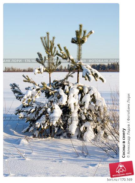 Сосны в снегу, фото № 170169, снято 2 января 2008 г. (c) Александр Лядов / Фотобанк Лори