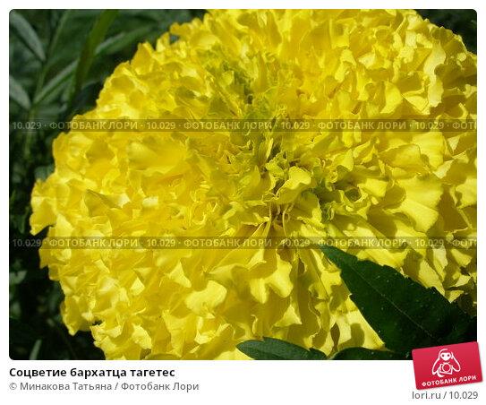 Соцветие бархатца тагетес, фото № 10029, снято 19 августа 2006 г. (c) Минакова Татьяна / Фотобанк Лори