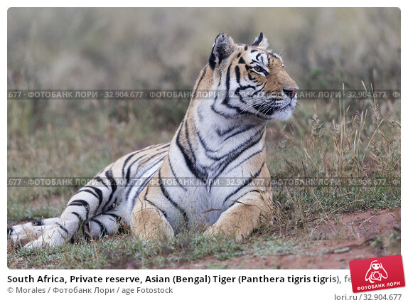 South Africa, Private reserve, Asian (Bengal) Tiger (Panthera tigris tigris), female adult resting. Стоковое фото, фотограф Morales / age Fotostock / Фотобанк Лори
