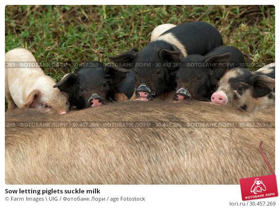 Sow letting piglets suckle milk. Стоковое фото, фотограф Farm Images \ UIG / age Fotostock / Фотобанк Лори