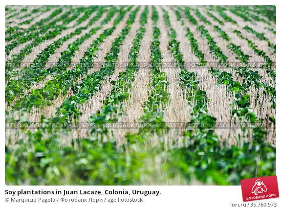 Soy plantations in Juan Lacaze, Colonia, Uruguay. Стоковое фото, фотограф Marquicio Pagola / age Fotostock / Фотобанк Лори