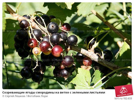 Созревающие ягоды смородины на ветке с зелеными листьями, фото № 82633, снято 28 июля 2007 г. (c) Сергей Лешков / Фотобанк Лори