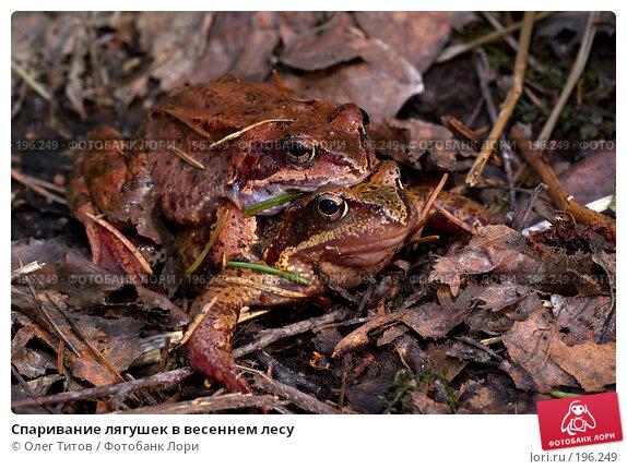 Спаривание лягушек в весеннем лесу, фото № 196249, снято 28 марта 2017 г. (c) Олег Титов / Фотобанк Лори