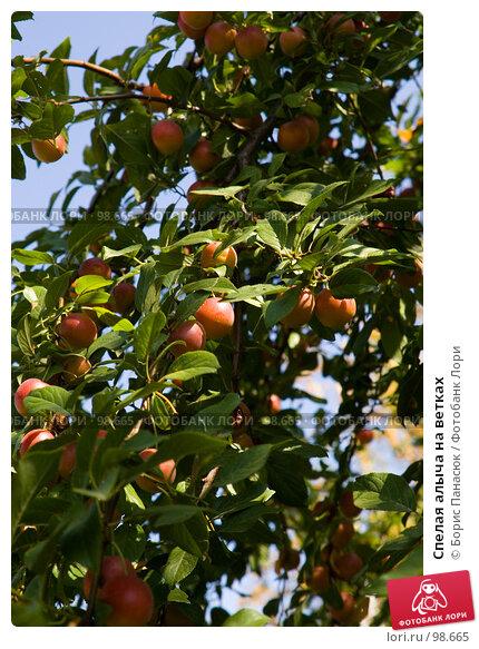Купить «Спелая алыча на ветках», фото № 98665, снято 25 августа 2007 г. (c) Борис Панасюк / Фотобанк Лори