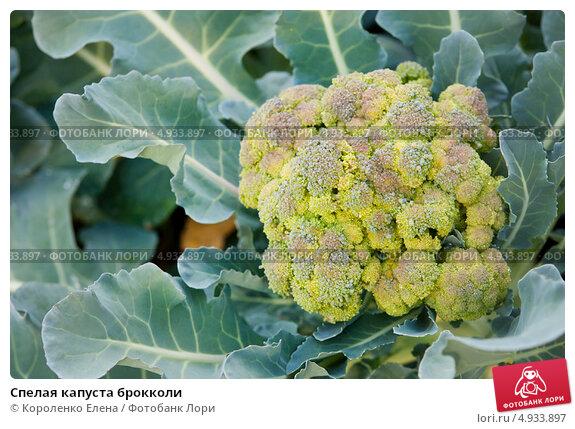 созревание брокколи капусты