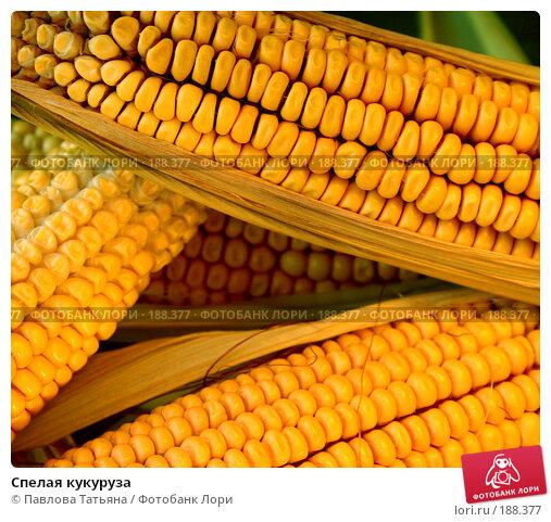 Спелая кукуруза, фото № 188377, снято 25 августа 2007 г. (c) Павлова Татьяна / Фотобанк Лори
