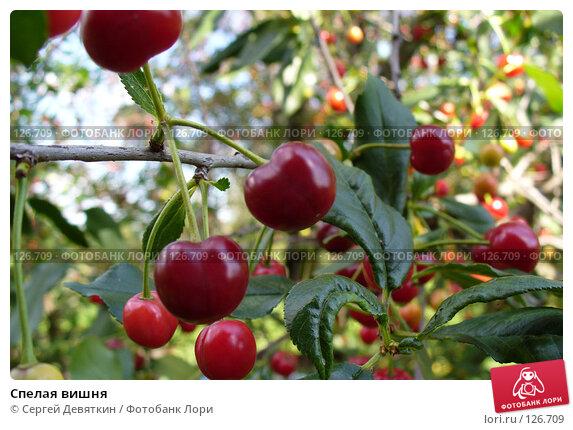 Спелая вишня, фото № 126709, снято 15 июля 2007 г. (c) Сергей Девяткин / Фотобанк Лори