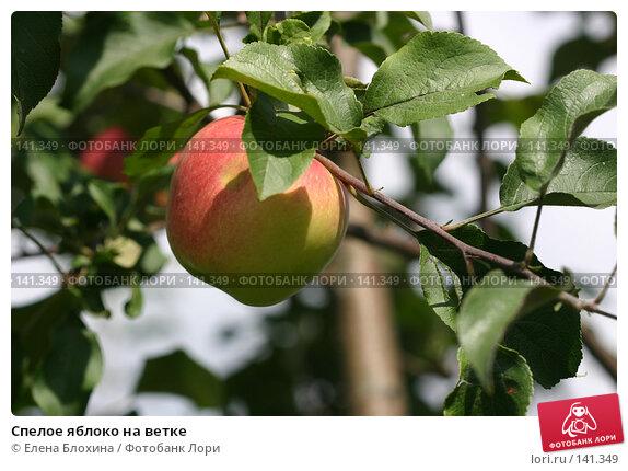 Спелое яблоко на ветке, фото № 141349, снято 26 августа 2007 г. (c) Елена Блохина / Фотобанк Лори