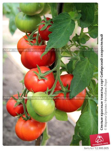 Купить «Спелые красные томаты сорт Сибирский скороспелый», фото № 12900805, снято 21 июля 2015 г. (c) Марина Орлова / Фотобанк Лори