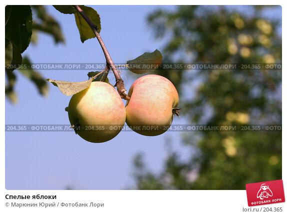 Спелые яблоки, фото № 204365, снято 17 августа 2007 г. (c) Марюнин Юрий / Фотобанк Лори