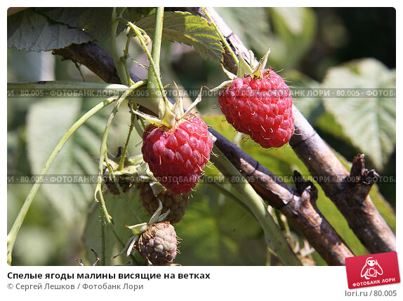 Купить «Спелые ягоды малины висящие на ветках», фото № 80005, снято 8 декабря 2007 г. (c) Сергей Лешков / Фотобанк Лори
