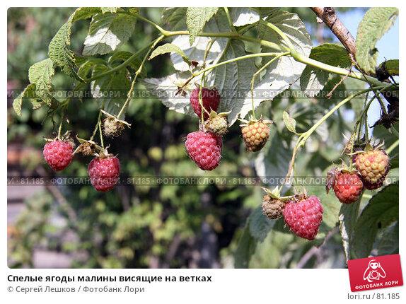 Спелые ягоды малины висящие на ветках, фото № 81185, снято 15 декабря 2007 г. (c) Сергей Лешков / Фотобанк Лори