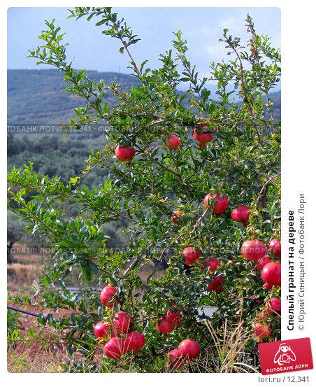Купить «Спелый гранат на дереве», фото № 12341, снято 27 сентября 2006 г. (c) Юрий Синицын / Фотобанк Лори