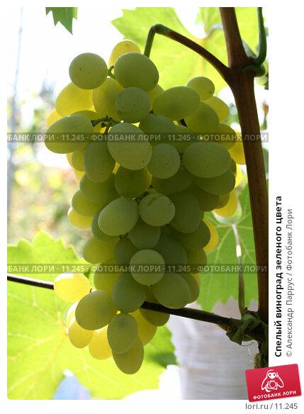 Купить «Спелый виноград зеленого цвета», фото № 11245, снято 27 августа 2006 г. (c) Александр Паррус / Фотобанк Лори