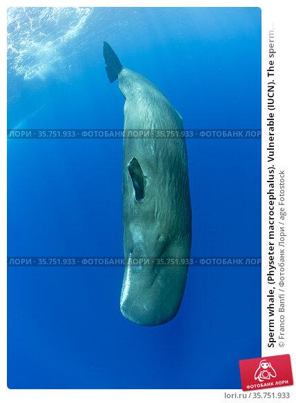 Sperm whale, (Physeter macrocephalus). Vulnerable (IUCN). The sperm... Стоковое фото, фотограф Franco Banfi / age Fotostock / Фотобанк Лори