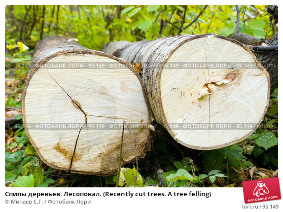 Купить «Спилы деревьев. Лесоповал. (Recently cut trees. A tree felling)», фото № 95149, снято 30 сентября 2006 г. (c) Минаев С.Г. / Фотобанк Лори