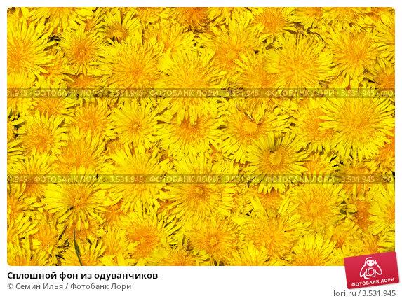 Сплошной фон из одуванчиков. Стоковое фото, фотограф Семин Илья / Фотобанк Лори