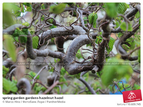 spring garden gardens hazelnut hazel. Стоковое фото, фотограф Marco Hinz / PantherMedia / Фотобанк Лори