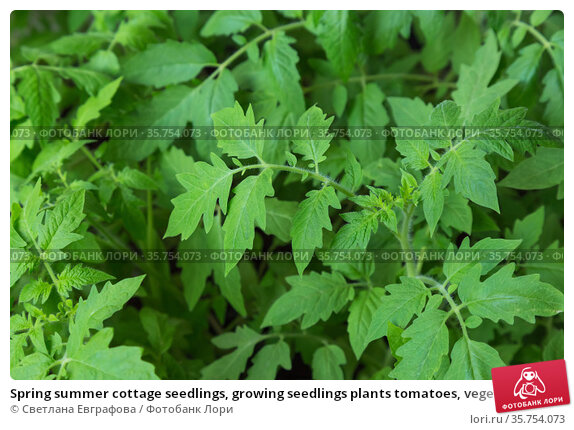 Spring summer cottage seedlings, growing seedlings plants tomatoes, vegetable background. Стоковое фото, фотограф Светлана Евграфова / Фотобанк Лори