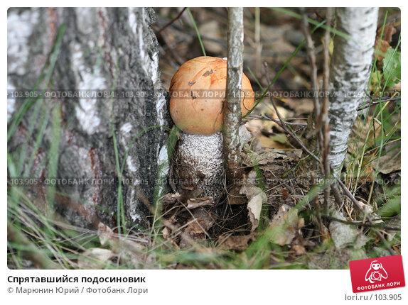 Спрятавшийся подосиновик, фото № 103905, снято 24 апреля 2017 г. (c) Марюнин Юрий / Фотобанк Лори