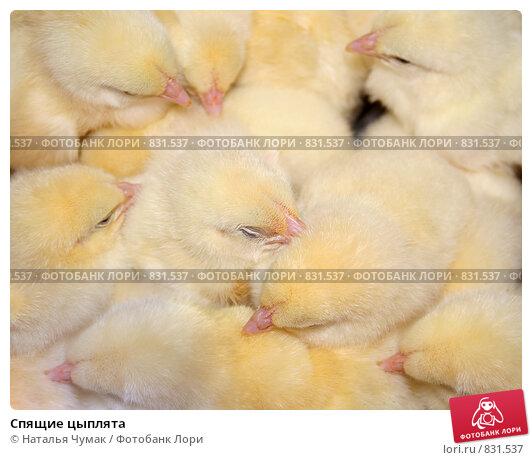 Купить «Спящие цыплята», фото № 831537, снято 25 апреля 2009 г. (c) Наталья Чумак / Фотобанк Лори