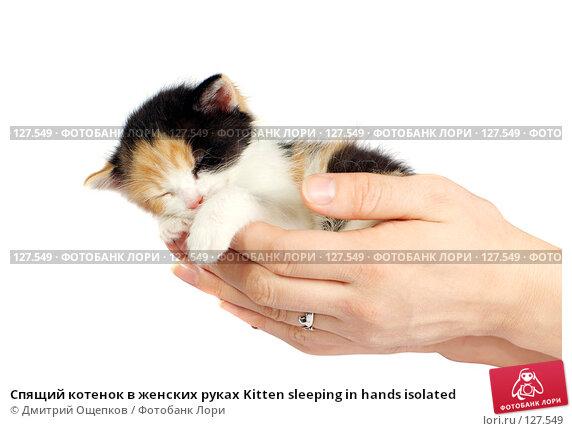Спящий котенок в женских руках Kitten sleeping in hands isolated, фото № 127549, снято 24 ноября 2007 г. (c) Дмитрий Ощепков / Фотобанк Лори