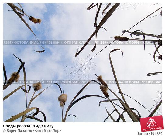 Среди рогоза. Вид снизу, фото № 101889, снято 29 сентября 2006 г. (c) Борис Панасюк / Фотобанк Лори