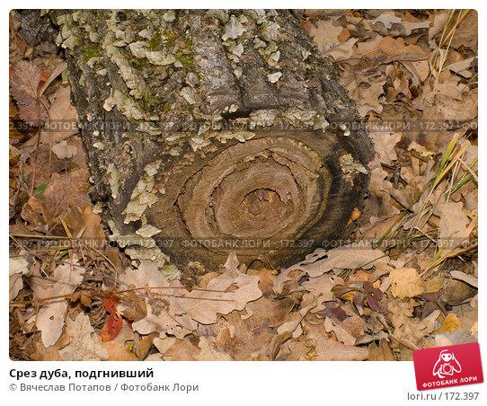 Купить «Срез дуба, подгнивший», фото № 172397, снято 18 октября 2007 г. (c) Вячеслав Потапов / Фотобанк Лори