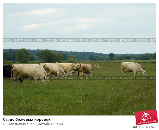 Стадо бежевых коровок, фото № 327529, снято 6 июня 2008 г. (c) Яков Филимонов / Фотобанк Лори