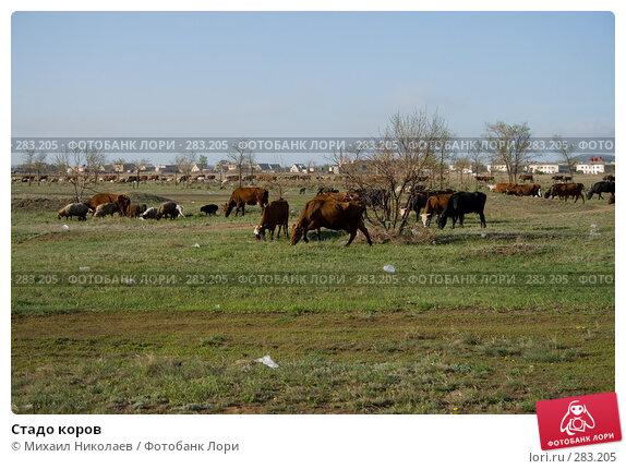 Стадо коров, фото № 283205, снято 13 мая 2008 г. (c) Михаил Николаев / Фотобанк Лори