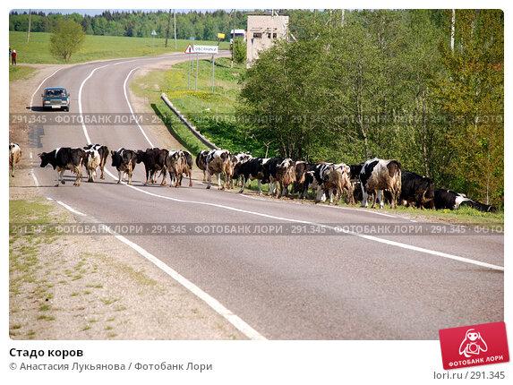 Стадо коров, фото № 291345, снято 17 мая 2008 г. (c) Анастасия Лукьянова / Фотобанк Лори