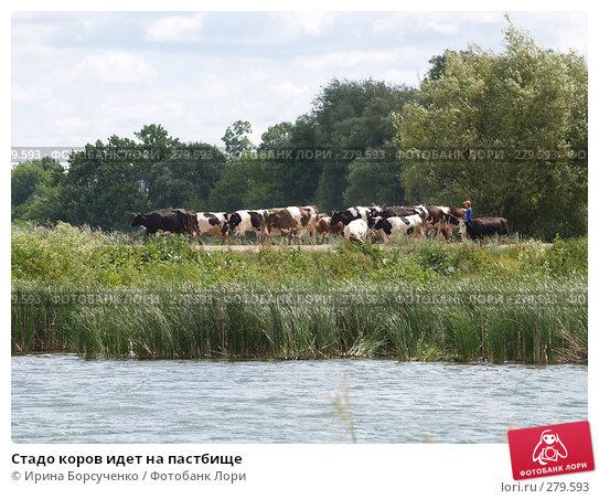 Купить «Стадо коров идет на пастбище», фото № 279593, снято 20 июня 2007 г. (c) Ирина Борсученко / Фотобанк Лори