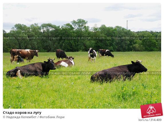 Стадо коров на лугу, фото № 314409, снято 31 мая 2008 г. (c) Надежда Келембет / Фотобанк Лори