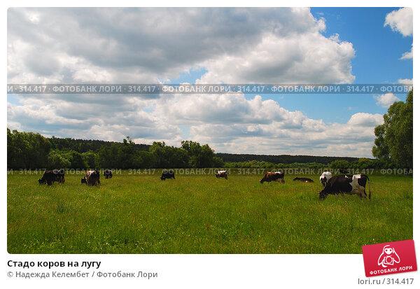 Стадо коров на лугу, фото № 314417, снято 31 мая 2008 г. (c) Надежда Келембет / Фотобанк Лори