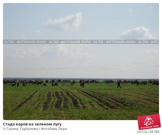 Стадо коров на зеленом лугу, фото № 34765, снято 19 апреля 2006 г. (c) Галина  Горбунова / Фотобанк Лори