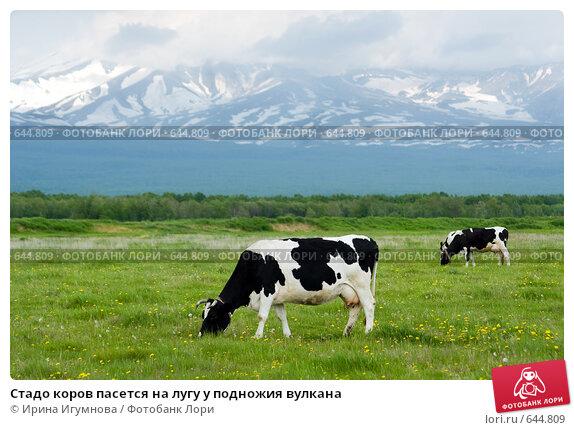 Стадо коров пасется на лугу у подножия вулкана, фото № 644809, снято 24 июня 2008 г. (c) Ирина Игумнова / Фотобанк Лори