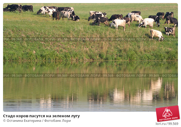 Стадо коров пасутся на зеленом лугу, фото № 99569, снято 18 августа 2007 г. (c) Останина Екатерина / Фотобанк Лори