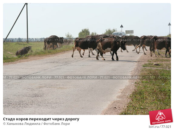 Стадо коров переходит через дорогу, фото № 77021, снято 15 августа 2007 г. (c) Ханыкова Людмила / Фотобанк Лори