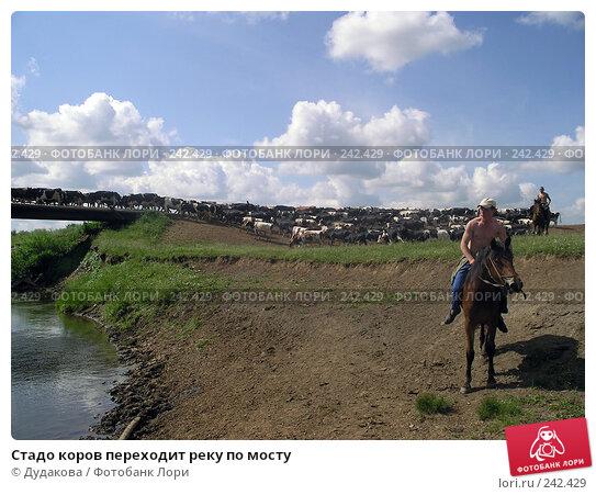 Стадо коров переходит реку по мосту, эксклюзивное фото № 242429, снято 17 июня 2005 г. (c) Дудакова / Фотобанк Лори